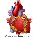 Picture of the heart (outer view)
